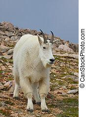 Nice Mountain Goat