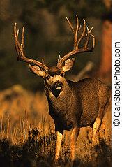 Nice Mule Deer Buck - close up of a nice mule deer buck ...