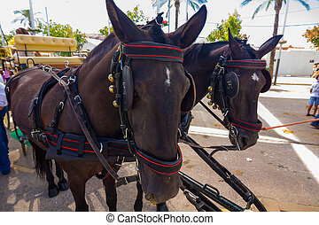 nice pair of black Andalusian horses with their preparations str