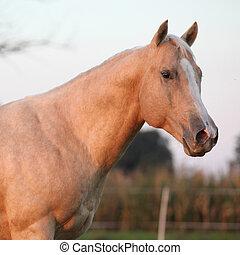 Nice palomino horse in sunset - Portrait of nice palomino ...