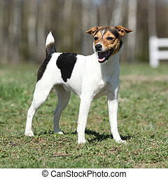 Nice Parson Russell terrier in nature - Nice Parson Russell...