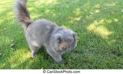 Persian cat going for a walk - nice Persian cat going for a...