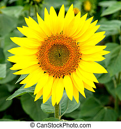 Nice picture of a sunflower