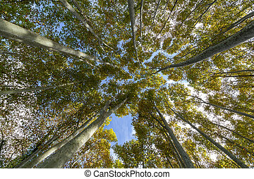 Nice poplar trees from bottom view in a sunny day in Spain