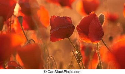 Nice poppy field under the rays of a splendid sunrise in...