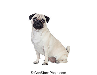 Nice pug dog with white hair isolated