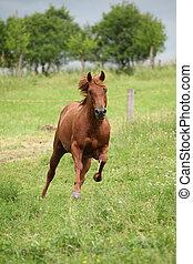 Nice Quarter horse stallion running on pasturage before a ...