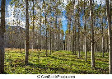 Nice rows from a poplar trees in a sunny day in Spain