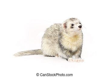 Nice silver ferret on reflective white background