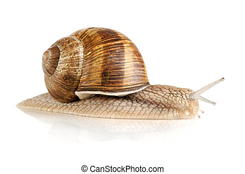 Nice snail isolated on white