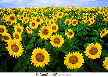 nice sunflowers for your designs