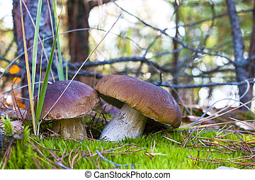nice two mushrooms in moss wood