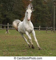 Nice white arabian stallion with flying mane running on...