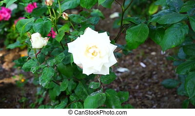 nice white rose branch in summer green park.