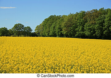 rape field - nice yellow rape field