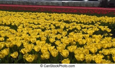 Nice yellow tulips. (Holland) - Tulip (Tulipa) is a genus of...