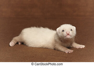 Nice young ferret baby laying in studio