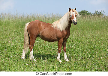 Nice young welsh mountain pony