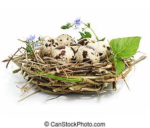 nido, codorniz, huevos, blanco, aislado