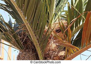 nido uccello, su, betel, palma