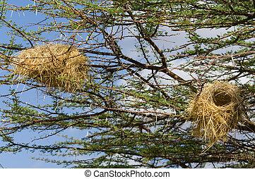 nido uccello, su, uno, albero