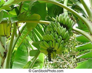 niedojrzały, dłoń, banany, banan