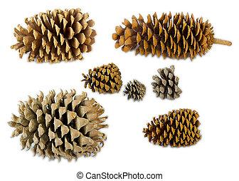 niejaki, komplet, od, różny, pine's, gatunek, stożki, w, tabela
