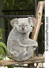 niejaki, sprytny, miś koali, na, australia, ogród...