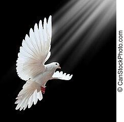 niejaki, wolny, przelotny, biała gołębica, odizolowany, na, niejaki, czarnoskóry