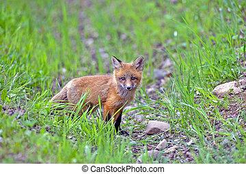 niemowlę, czerwony lis