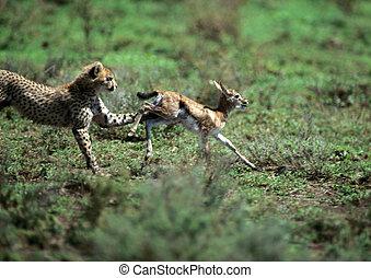 niemowlę, gepard, wykonujący, gazela