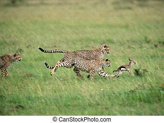 niemowlę, gepardy, wykonujący, gazela