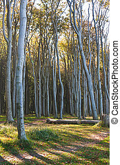 Nienhagen wood, Germany - Nienhagen wood or ghost wood at...