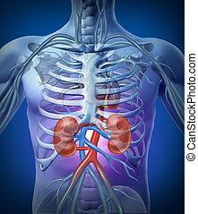 nieren, skelet, menselijk