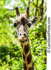 nieuwsgierig, giraffe