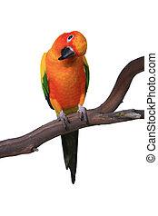 nieuwsgierig, helder kleurde, zonconure, op een tak