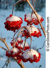 nieve, viburnum