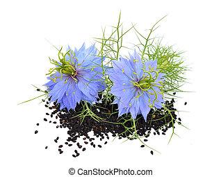 Nigella sativa or fennel flower, nutmeg flower, black...