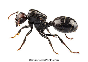 niger, nero, specie, formica, giardino, lasius