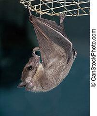 night bat - hanging night bat