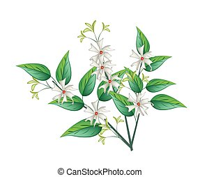 Night Blooming Jasmine on A White Background - Beautiful...