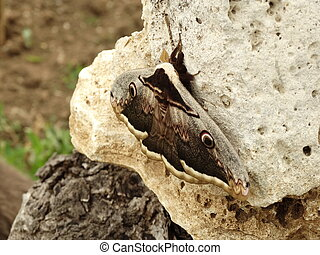 Night Butterfly Perched on a Stone
