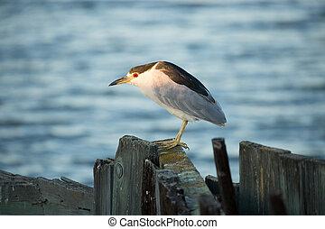 night-heron, black-crowned