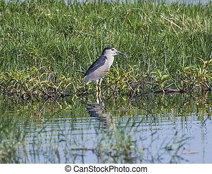 Night heron stood in reeds of river marshland