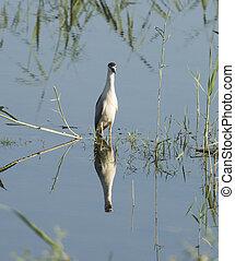 Night heron stood in water reeds of river marshland