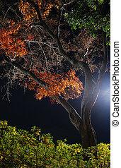 night maple tree