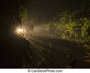Night shot in Car Lights of A Big Male Asian Wild Elephant on the road in national park
