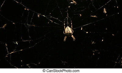 Night spider on the web