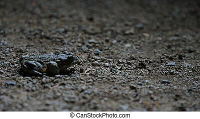night toad jumps - a toad hops into frame at night