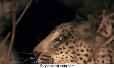 Night view of leopard head opening mouth with big teeth